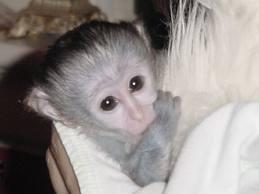 Cute looking baby Capuchin monkeys for sale