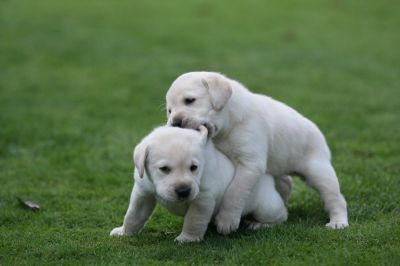 100 % HEALTHY MALES AND FEMALES LABRADOR RETRIEVER PUPPIES FOR ADOPTION