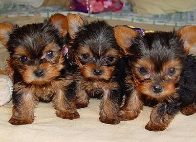 AMAZING XMAS TEACUP YORKIE PUPPIES FOR FREE ADOPTION