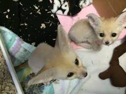 Gorgeous And Lovely Fennec Fox