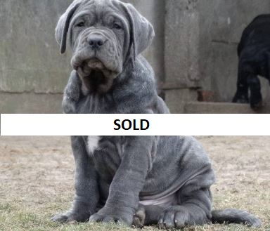 Buy Purebred Neapolitan mastiff puppy