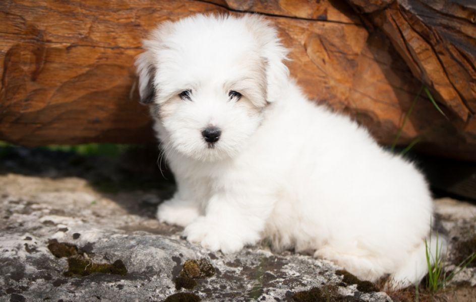 Wonderful Coton de Tuléar Male with FCI pedigree