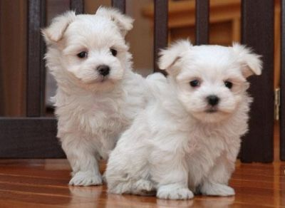 Charming and amazing Maltese puppies