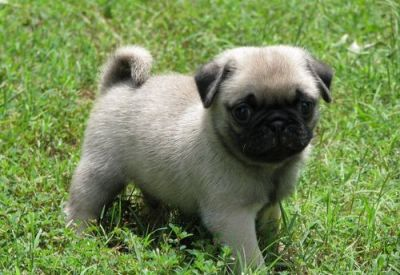 Male and Female Pug Puppies