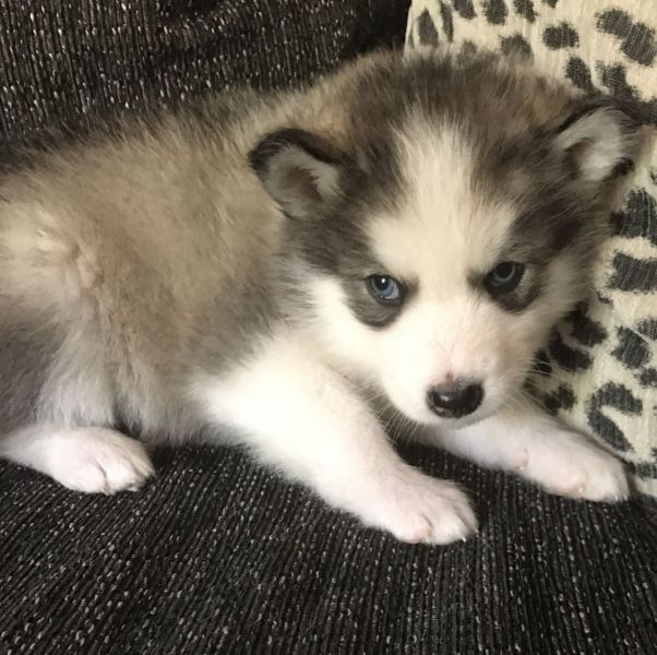 Siberian Huskey Puppies Ready Now.