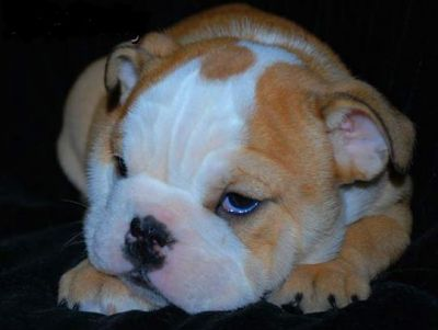 TWO ENGLISH  BULLDOG  PUPPIES FOR ADOPTION