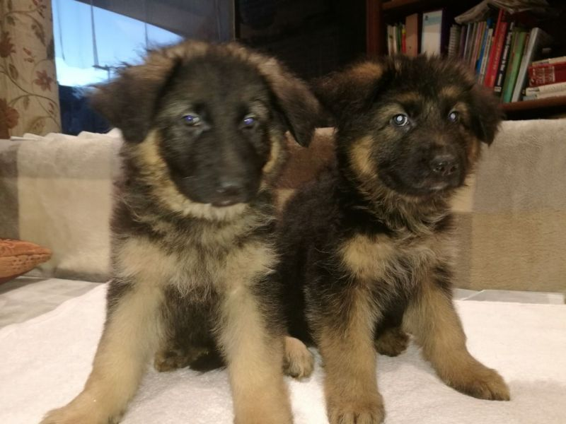 German Shepherd Puppies Bobtail And Tailed For Sale