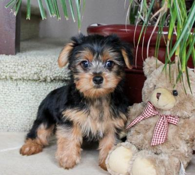 2 YORKIE PUPPIES AVAILABLE FOR SALE....billcatrojustine@gmail.com..