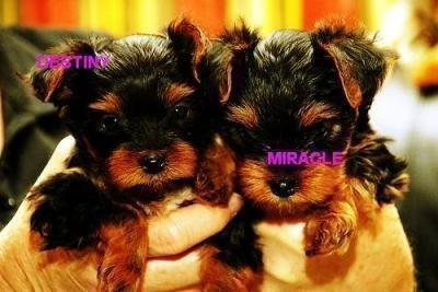 Extremely cute X-mas teacup yorkie puppies for free adoption