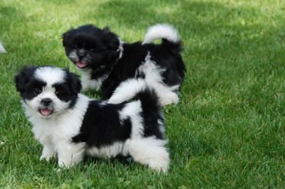 The Shih Tzu is a true companion dog and makes an ideal family pet.