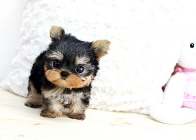 Precious baby doll face yorkie puppy for free adotion