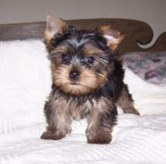 Outstanding Teacup Yorkie Puppies For Adoption.