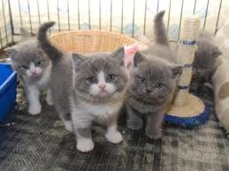 British shorthair kittens for good and caring home