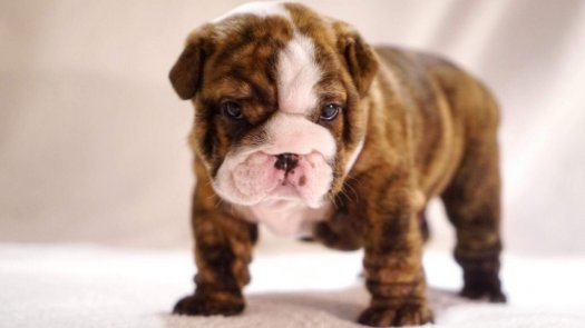 English bulldog with pedigree