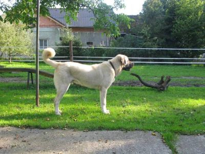Turkish Kangal dog puppies available