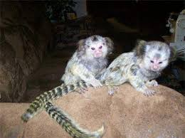 Males and Females Monkeys ready now 3months