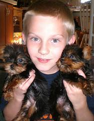 X-mas teacup yorkie puppies for free adoption