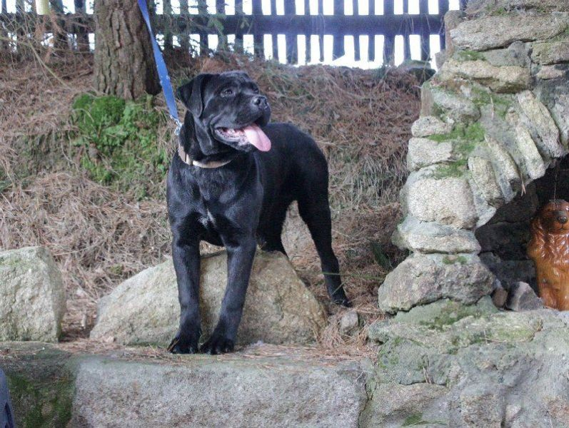 Cane Corso - puppies with FCI pedigree for sale