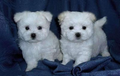 Cute Maltese Puppies For R-Homing