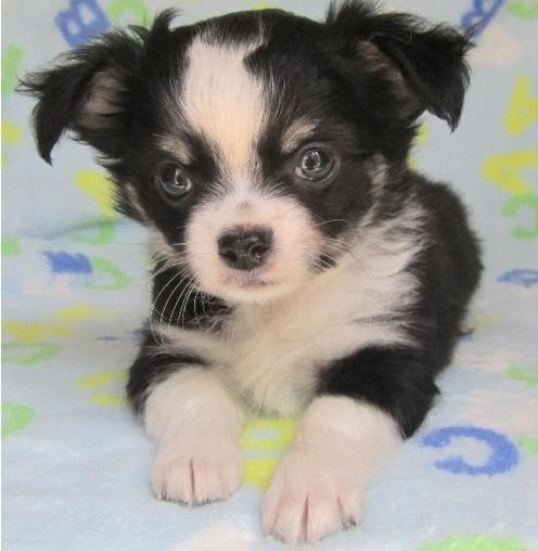 Playful Chihuahua Puppies Now Ready For Re-Homing