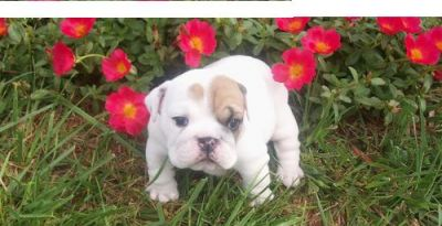 cute english bull dog puppy for free adoption