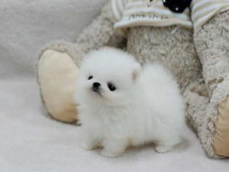 Teacup Pomeranian precious little