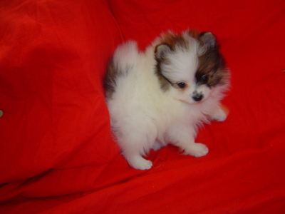 OUTSTANDING Pomeranian puppies for ADOPTION