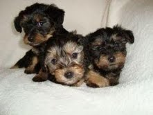 Excellent Teacup Yorkie Pupies For Free Adoption