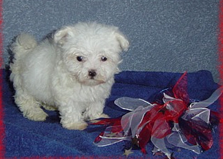 Good lookingTeacup maltese puppies for sale