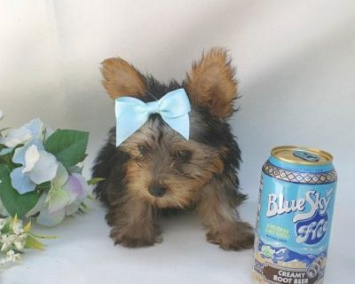 charming yorkie puppies for adoption
