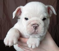 Beautiful Akc English Bulldog