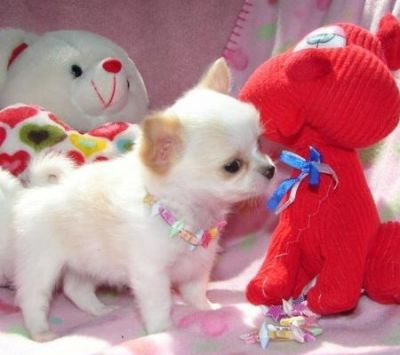 Male and Female Chihuahua puppies for sale-