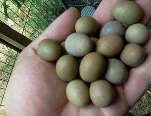 Parrot eggs,ostrich eggs and eagle eggs for sale