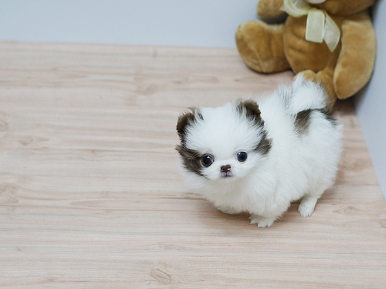Friendly, Teacup Pomeranian For Sale