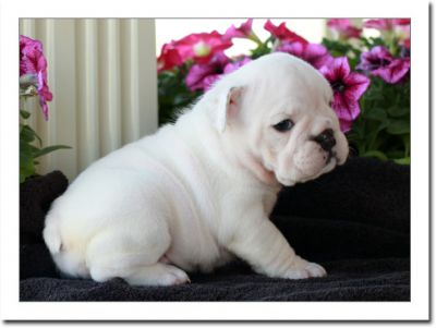Adorable English bulldogs Male and Female for loving homes