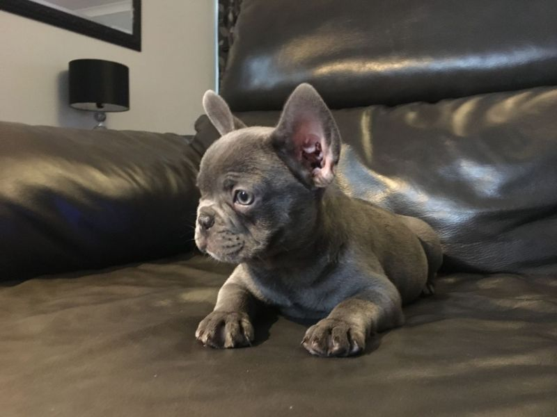 Stunning Quality Blue French Bulldog & Quads Ready Now!