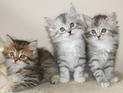 Lovely Siberians Kittens for sale