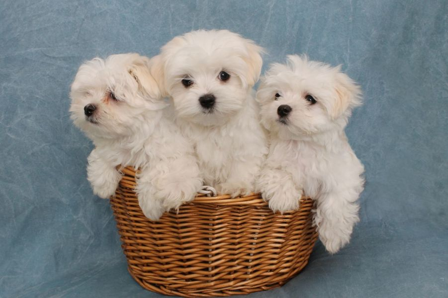 Maltese puppy for adoption