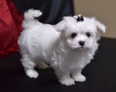 Teacup Maltese Adorable, lovable