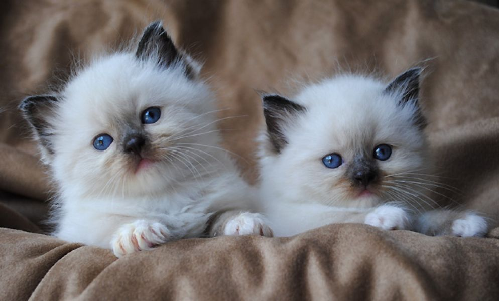 Vaccinated Radgoll, Himalayan kittens for sale